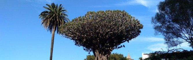 The Dragon Tree of Icod